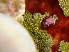 ミノウミウシの一種20110805.jpg